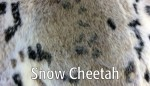 Snow Cheetah - Product Image